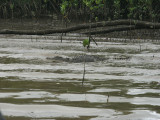Daintree River (fishing) - a  Local