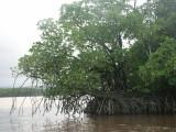 Daintree River (fishing) - Mangroves
