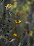 bullbriar berries 72