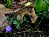 periwinkles in december?