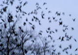 a storm of starlings 130