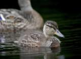 fuzzy duckling 1