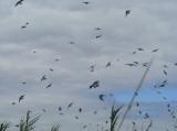 swallows 10