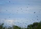 swallows 7