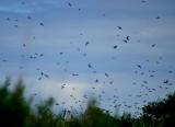 swallows 9