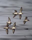 sanderlings 71