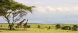 Giraffa camelopardalis reticulata Reticulated Giraffe