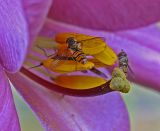 hoverfly on lily 5.jpg