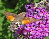 hummingbird hawk moth.jpg