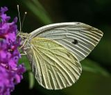 large white butterfly 2.jpg