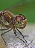dragonfly head.jpg
