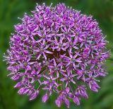 allium purple sensation.jpg