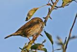 dunnock.jpg (hedge sparrow)