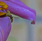 hoverfly on lily.jpg