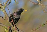 adult starling.jpg