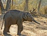 baby indian elephant.jpg