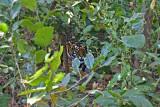 tiger 20.jpg