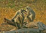 Languer monkeys.jpg
