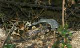 rock python shedding skin.jpg
