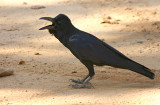 jungle crow.jpg
