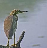 indian pond heron 2.jpg