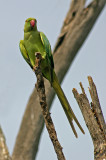 ring necked parakeet 2.jpg