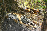tiger cubs mid day rest