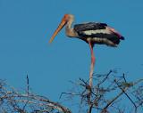 painted stork 2.jpg