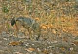 golden jackal 3.jpg