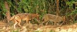 indian golden  jackals Baratpur 2.jpg
