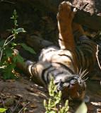 tiger 11.jpg