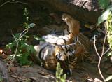 tiger 8.jpg