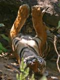 tiger 10.jpg