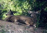 samba deer.jpg