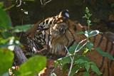 tiger 17.jpg