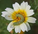 caterpillar.jpg