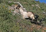 goats feral.jpg