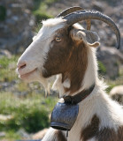 goat 3.jpg