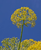 giant fennel.jpg