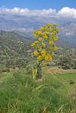 giant fennel 3.jpg