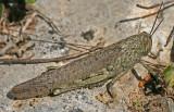 egyptian grasshopper.jpg