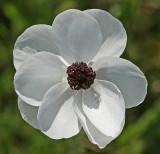 Ranunculus asiaticus.jpg