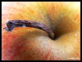 P1110899 The big apple.jpg