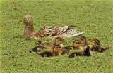duck_