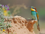 Bee Eaters 36.