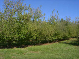 orchard0710110042.JPG