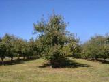 orchard0710110048.JPG