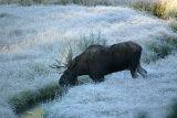 Bull moose in a frosty meadow
