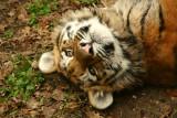 Amur Tiger kitten -  8 months old
