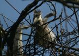 Grey Heron chick